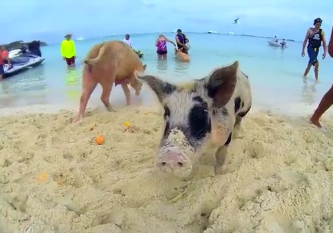 Pig Beach Big Major Cay Charter Big Major Island